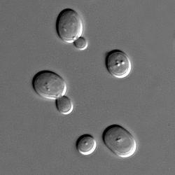 Saccharomyces-cerevisae