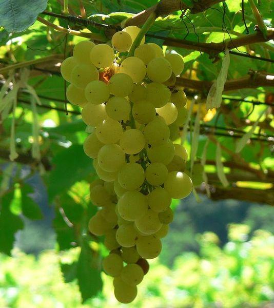 534px-Chenin_blanc_grapes