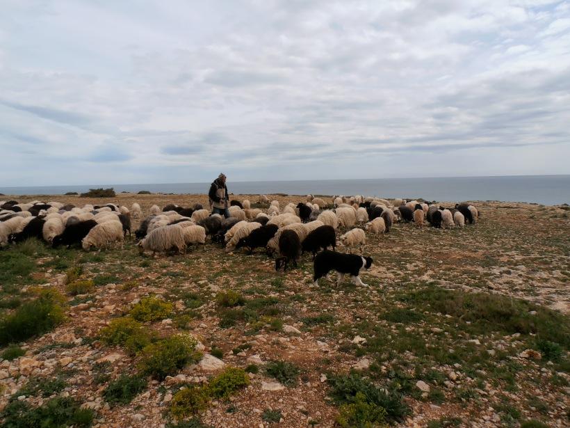 Le troupeau de Brice, le berger de Leucate, au pied du restaurant. Photo©MichelSmith