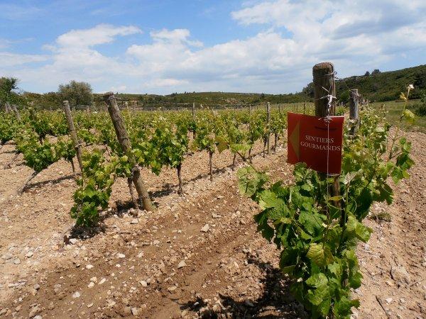 Une vigne de La Clape balisée pour la circonstance... Photo©MichelSmith