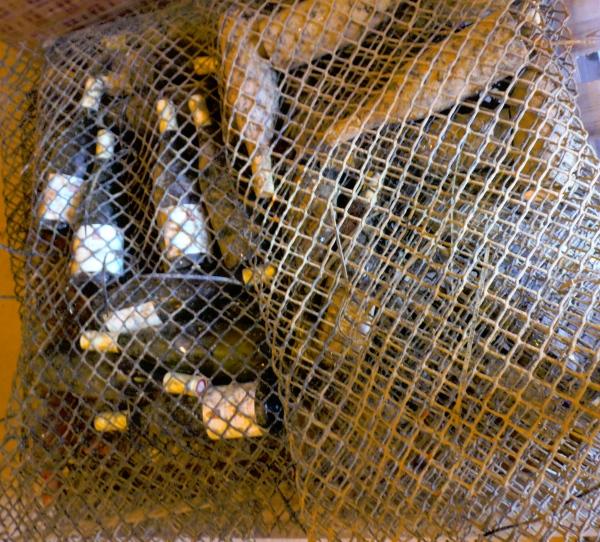 Remontées du fond de la mer, les bouteilles étaient rangées dans des filets réservés à l'