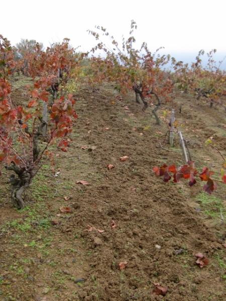 Labourage dans les vignes assuré par les sangliers/ Photo©MichelSmith
