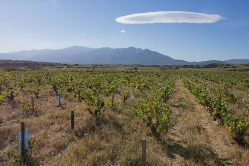 Notre vigne du Puch, à Tresserre, dans les Aspres. Photo©MichelSmith