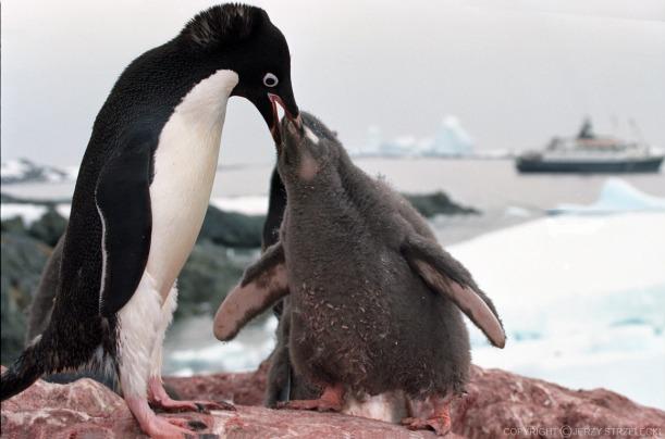 Antarctic_adelie_penguins_(js)_21