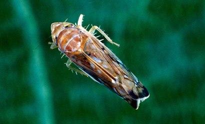 cicadelle-de-la-flavescence-doree-1