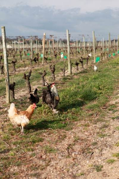hens and a Coq in vineyards in the Côtes Roannaise