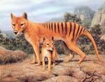LH11_Tigre_Tasmanie