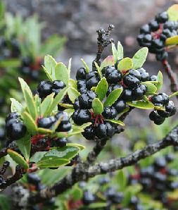 tasmanian pepper plant with ripe berries