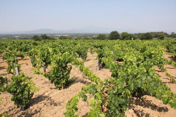5. Le vignoble du Domaine Jean Royer soigné aux petits oignons. Photo Agnieszka Kumor