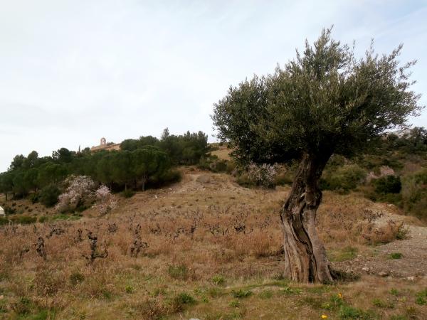 Vieilles vignes de Carignan, chapelle, olivier...à l'entrée de Maury. Photo©MichelSmith
