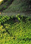 Copie de Alsace vignoble 1