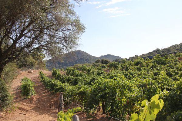 7. Les vignes en pleine santé au Domaine Torraccia. Photo Agnieszka Kumor