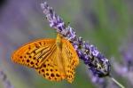 lavande-papillon[1]