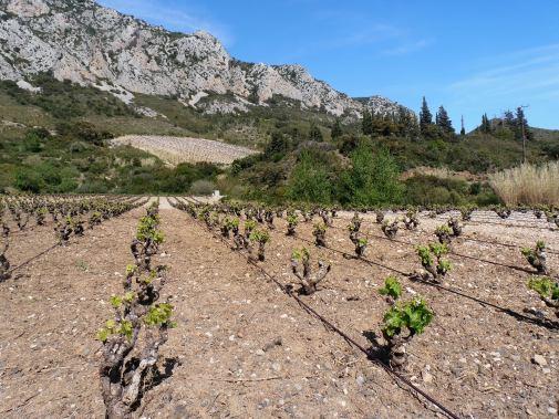 Vignes irriguées du côté de Maury. Photo©MichelSmith