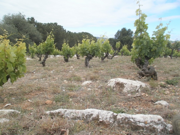 La vigne et ses grosses dolomies. Photo©Raymond Manchon
