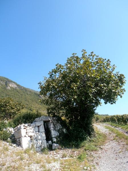 Au dessus d'Aubin, entre deux Roussannes, le figuier abrite le vigneron. Photo©MichelSmith