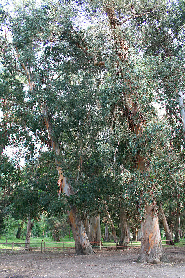 640px-Eucalyptus_JPG2b