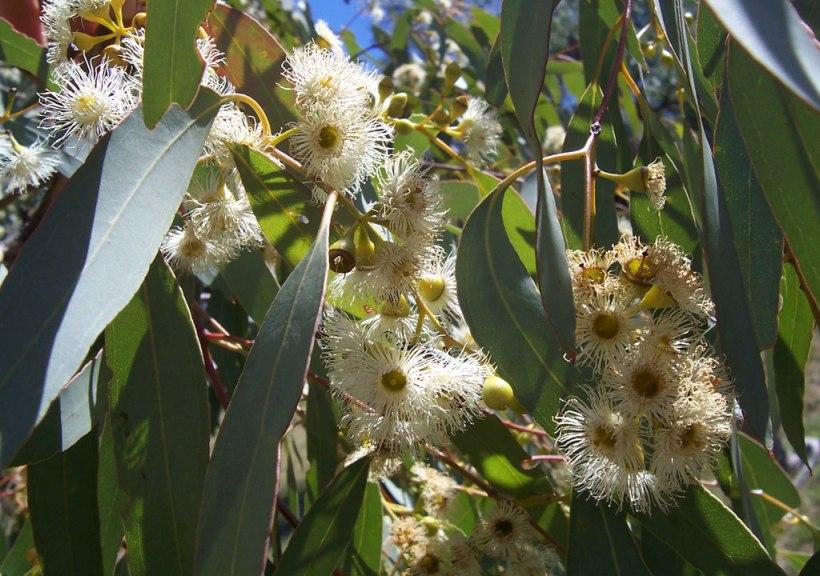 Eucalyptus_flowers2