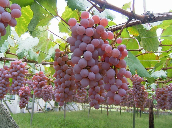 Koshu-Grapes-by-Genta_ghr
