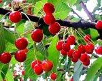 Cerisier guigne