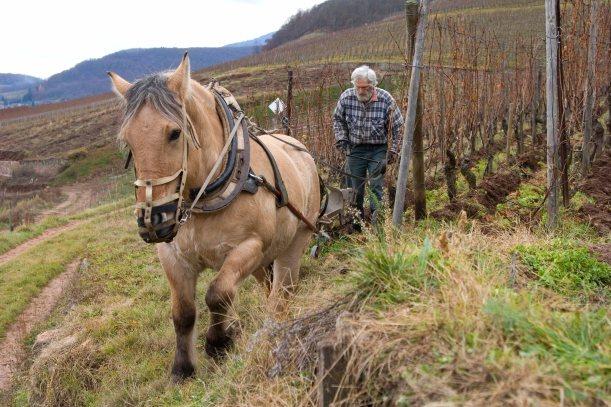 Labour d'automne dans les vignes avec un cheval de trait comtois - vignoble alsacien - Guebwiller - Haut-Rhin - France model release available