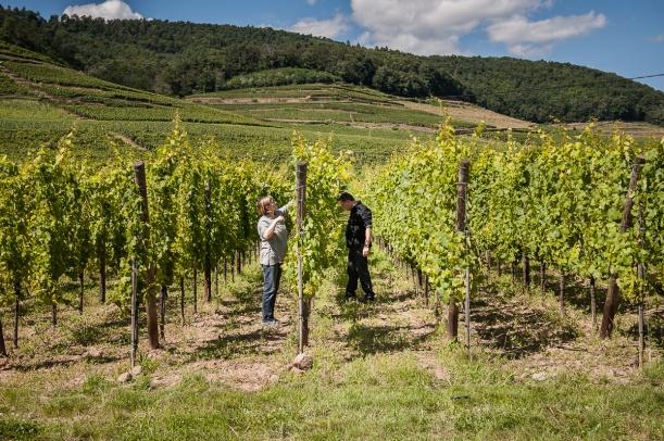 Les vignerons, Jean et Ludivine Dirler, producteurs de vin biodynamique sur le domaine Dirler-Cade à Bergholtz, sur leur champs de vignes du grand cru Saering.