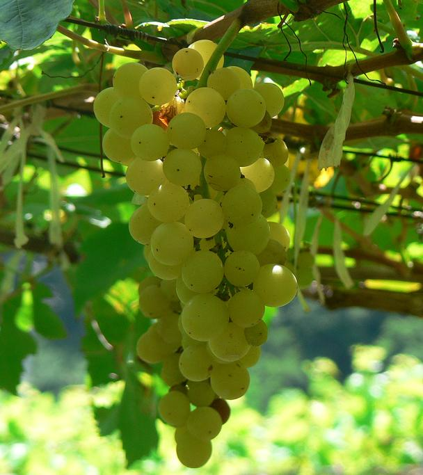 Chenin_blanc_grapes