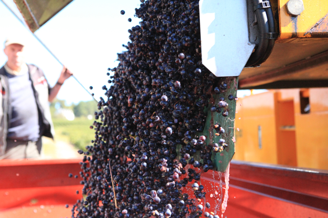 Next the machine empties the Cabernet Franc grapes from its hopper into a trailer ready to be processed at the nearby winery.