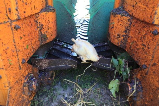 The now oven ready chicken drops gently from the harvesting machine.
