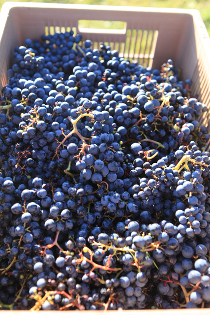 Grapes from very old Côt – around 120 years old.