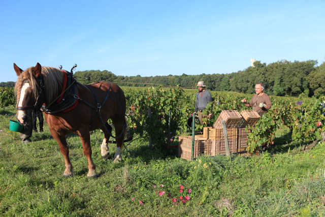 A horse to transport the grapes.
