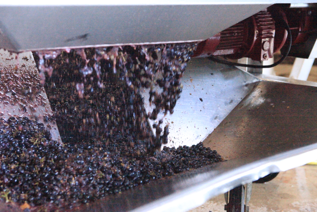 Gamay falling from the destemmer.