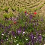 Vignes Marañones