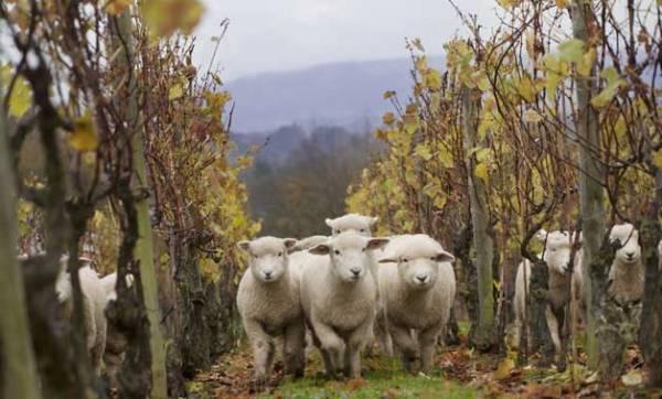 Nyetimber-sheep