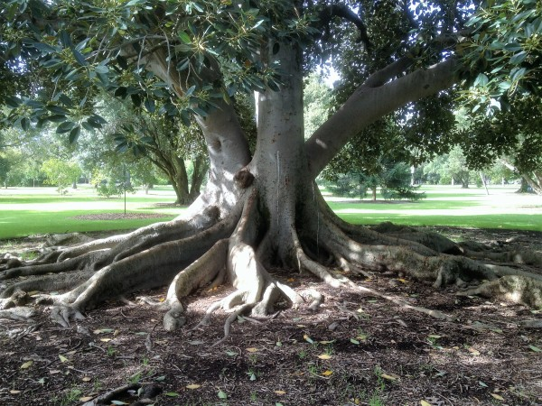 arbre-australienne-1