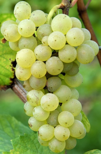 pinot-blanc-raisin