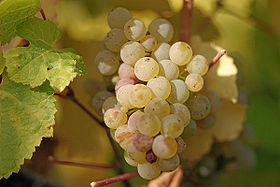 280px-riesling_grapes_leaves