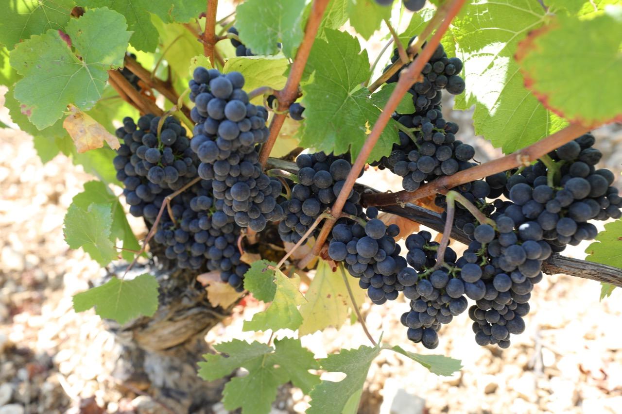 Pinot Noira