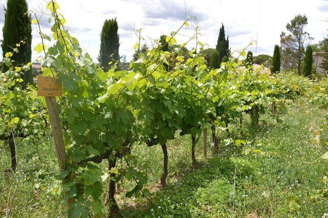 Jacquère_-_vines