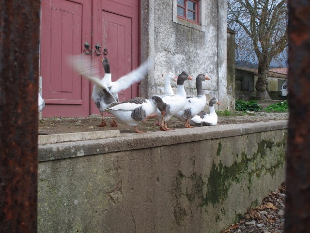 Geese guards